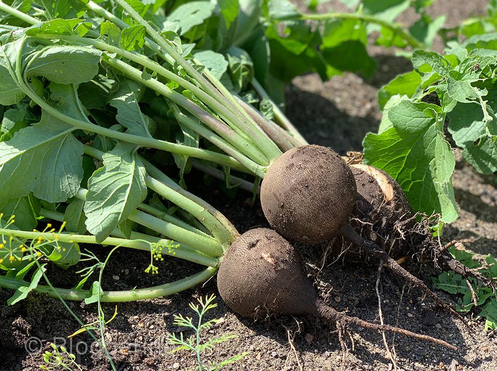 Gemüse, Rettich, Winterrettich, Gemüsegarten, Bauerngarten, Selbstversorger, Beet, Gemüsebeet, September, diy, selber machen