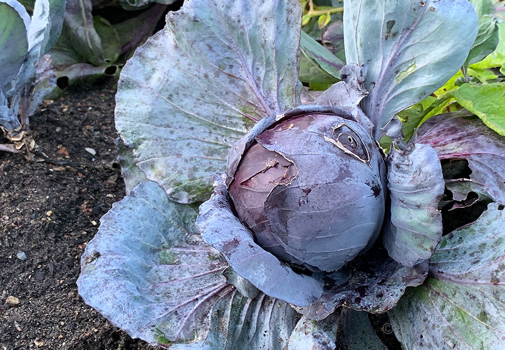 Gemüsegarten, Bauerngarten, Garten, Gemüse, Selbstversorger, Anbau, Oktober, Garten im Oktober, Rotkohl