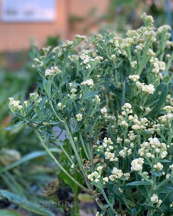 Gemüsegarten, Bauerngarten, Garten, Gemüse, Selbstversorger, Anbau, Oktober, Garten im Oktober, Blumenkohl