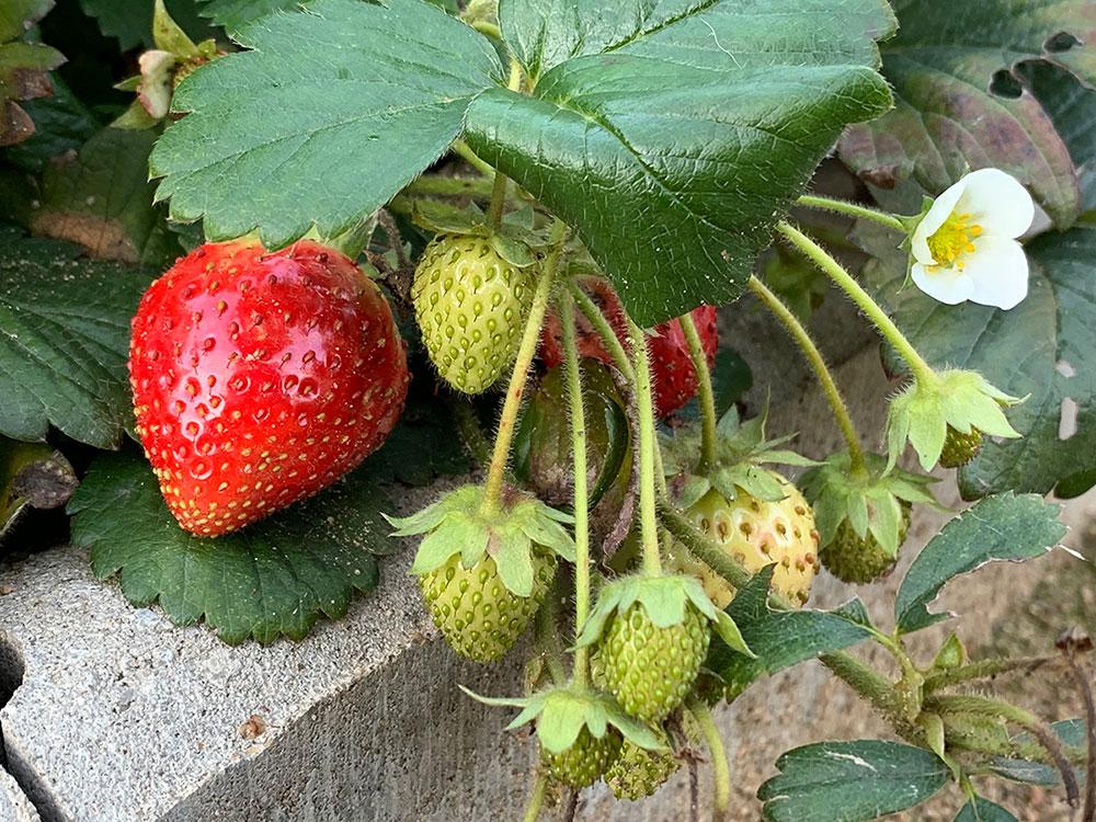 Gemüsegarten, Bauerngarten, Garten, Gemüse, Selbstversorger, Anbau, Oktober, Garten im Oktober, Erdbeeren