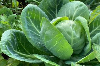 Gemüsegarten, Bauerngarten, Garten, Gemüse, Selbstversorger, Anbau, Oktober, Garten im Oktober, Weißkohl