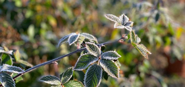 Garten, Gemüsegarten, Garten im Oktober, Gemüsegarten im Oktober, Raureif, erster Frost, Brombeere