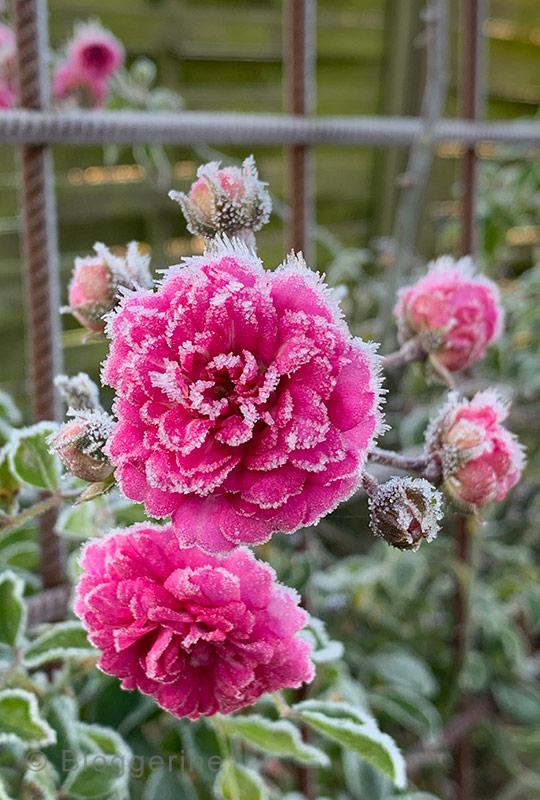 Garten, Gemüsegarten, Garten im Oktober, Gemüsegarten im Oktober, Raureif, erster Frost, Rose, Kletterrose, Sichtschutz