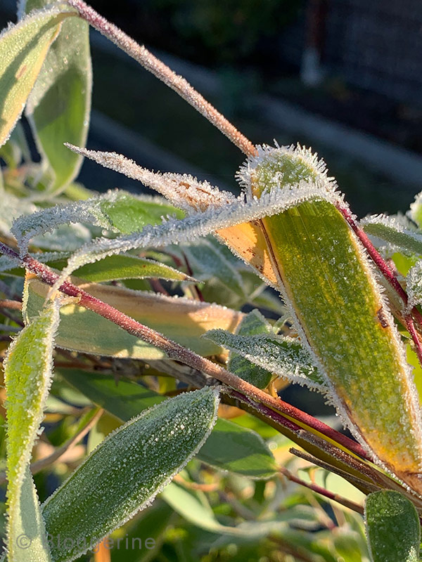 Garten, Gemüsegarten, Garten im Oktober, Gemüsegarten im Oktober, Raureif, erster Frost, Bambus, Sichtschutz