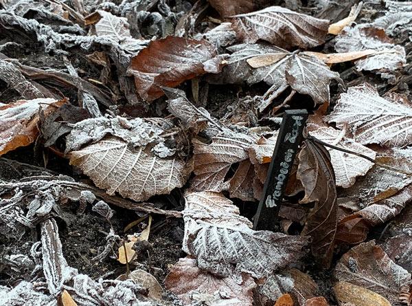 zurück gezogene Rhabarberpflanze mit Laub