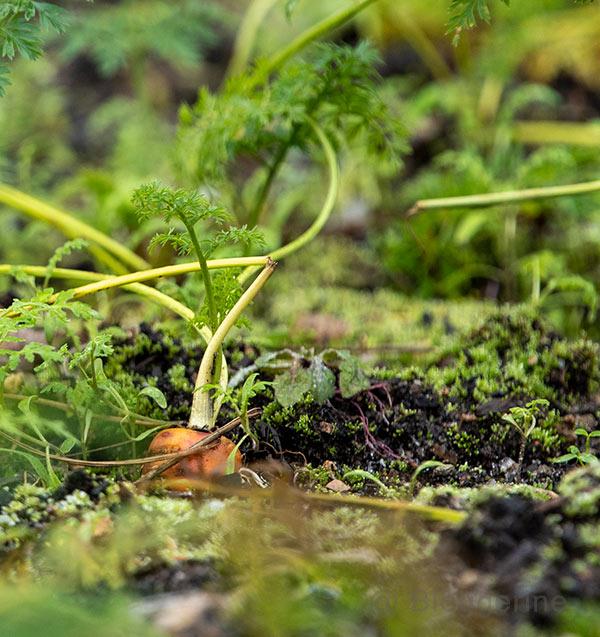 Karotte im Gemüsebeet