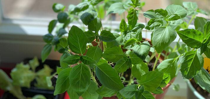Gemüse Kräuter vorziehen