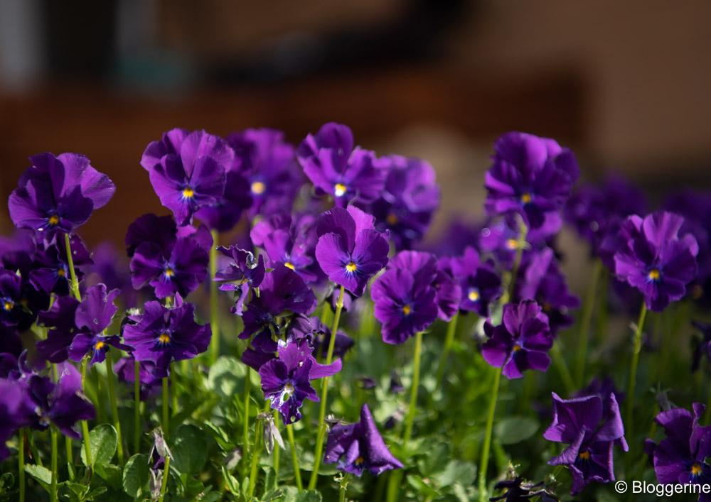 Stiefmütterchen in lila