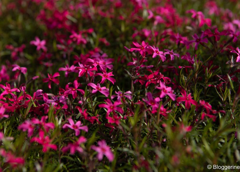 Blütenmeer in pink
