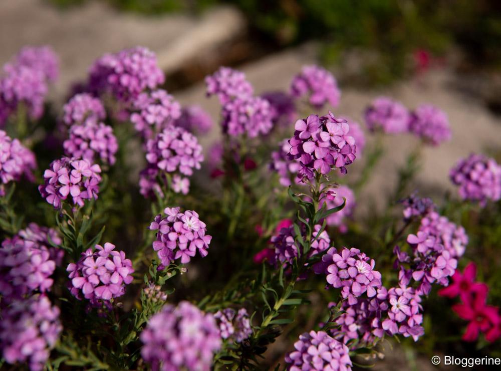 Blüten in altlila