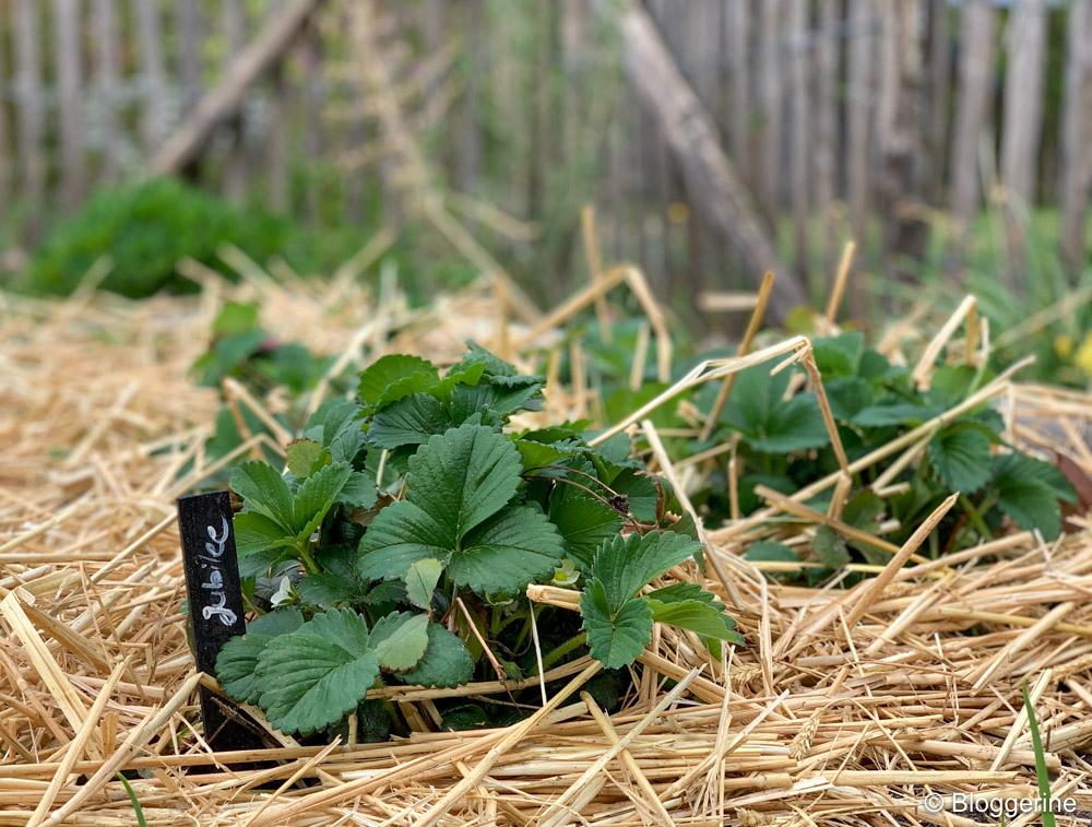 Erdbeerpflanze mit Stroh
