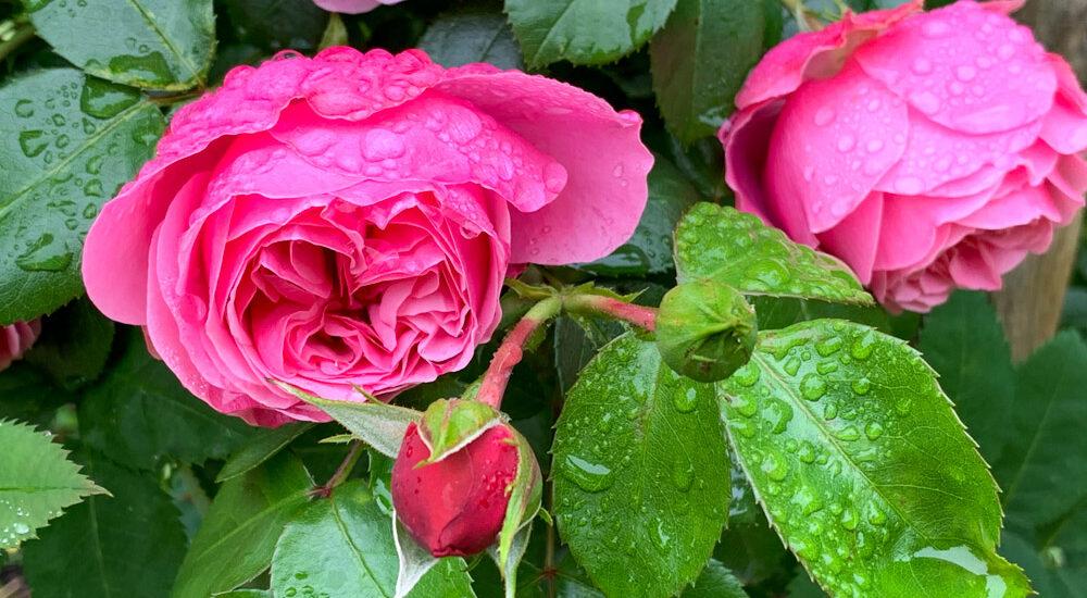 pink farbene Rose mit Regentropfen