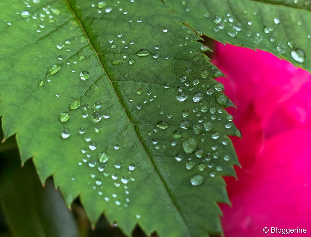Rosenblätter mit Regentropfen