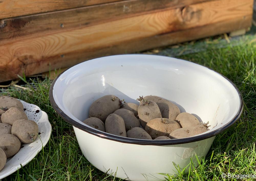 gekeimnte Kartoffeln