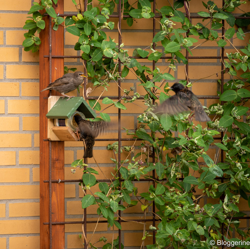 Stare am Vogelfutterhäuschen
