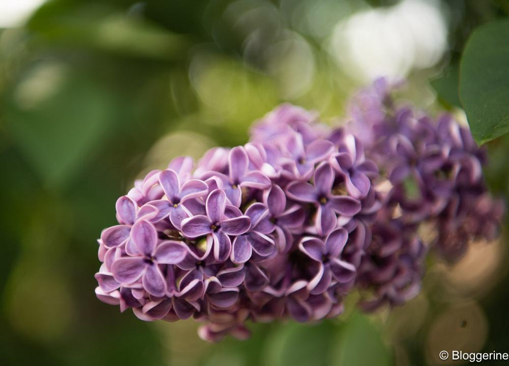Fliederblüten in zartem lila