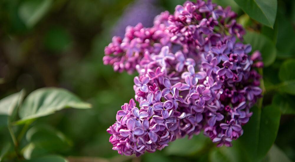 Fliederblüten in dunklem lila