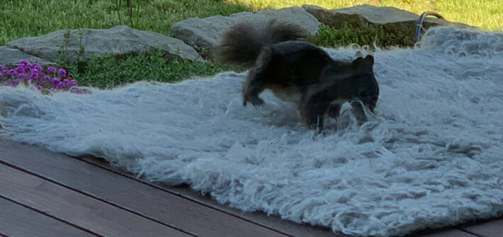 Eichhörnchen sammelt Flusen aus Teppich