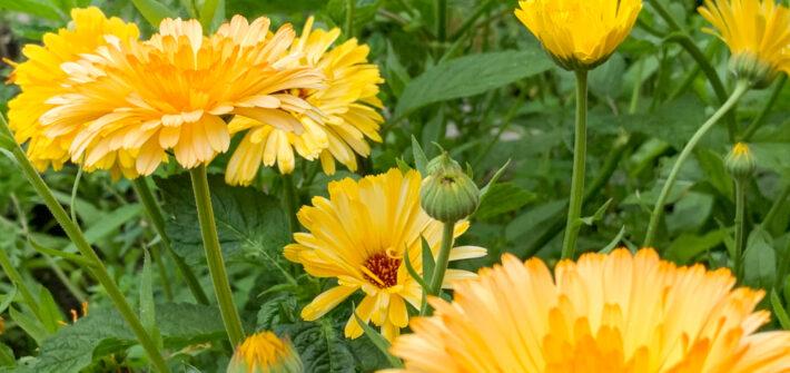 Ringelblumen im Gemüsegarten