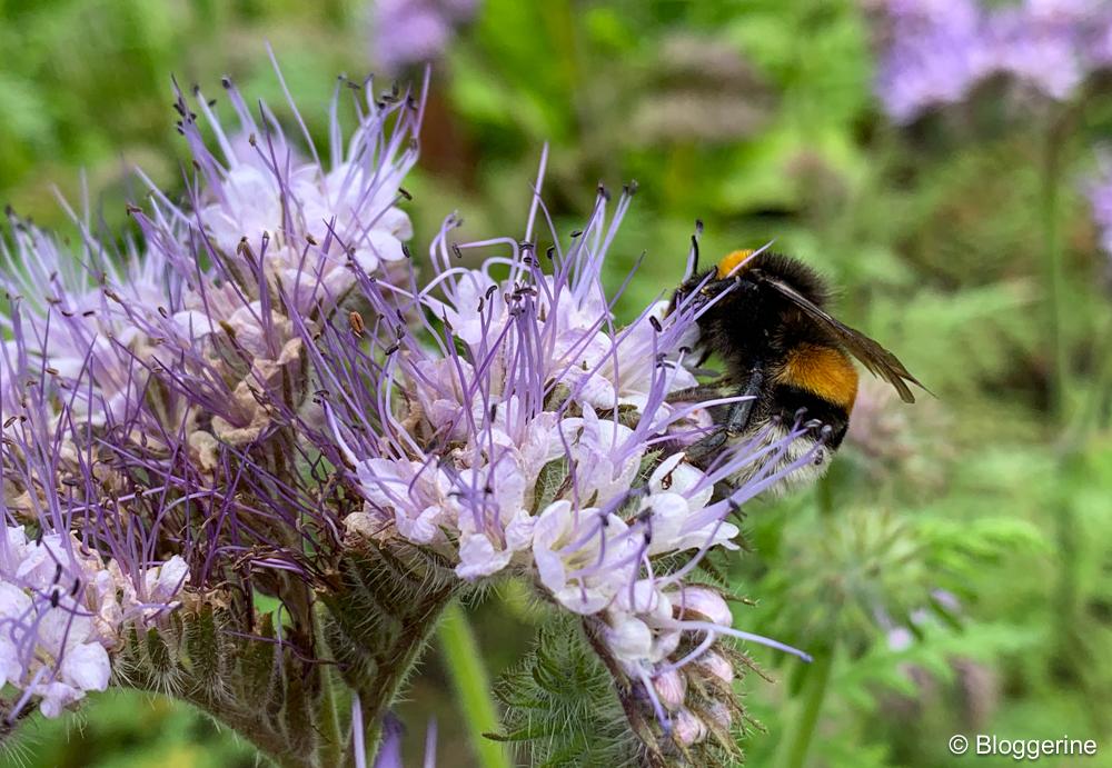 Phacelia Bienenfreund mit Hummel