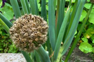 Blühende Zwiebel mit Samen
