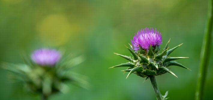 Blüten der Mariendistel