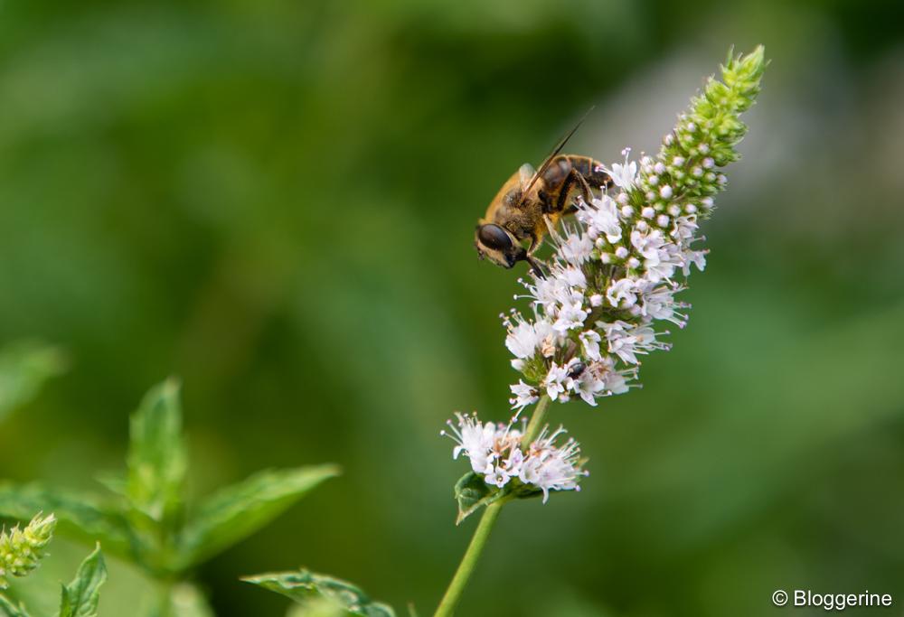 Biene an einer Minzblüte
