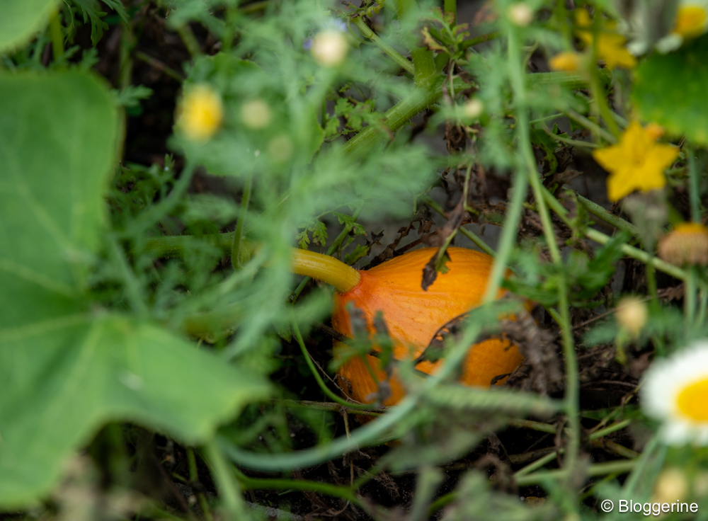 kleiner Hokkaidokürbis im Gemüsebeet