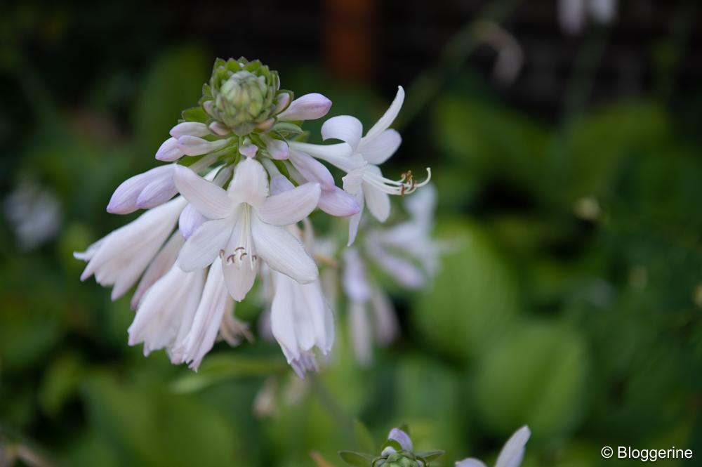 Blüte der Funkie