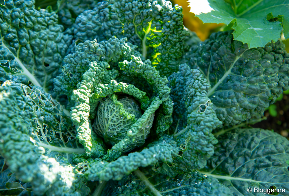 Wirsingkohl im Gemüsebeet