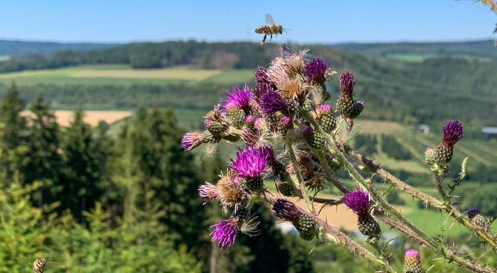 Diestel mit Bienen im Anflug