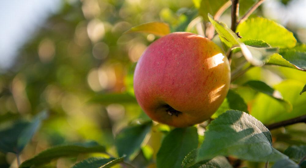 Apfel Goldparmäne