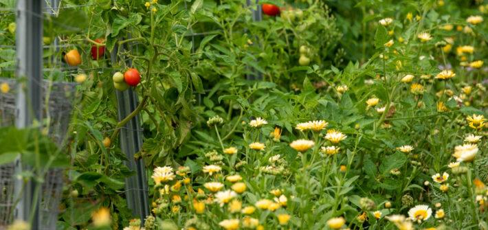 Ringelblumen im Gemüsebeet