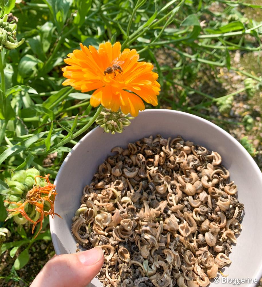 Samen der Ringelblume und Blüte