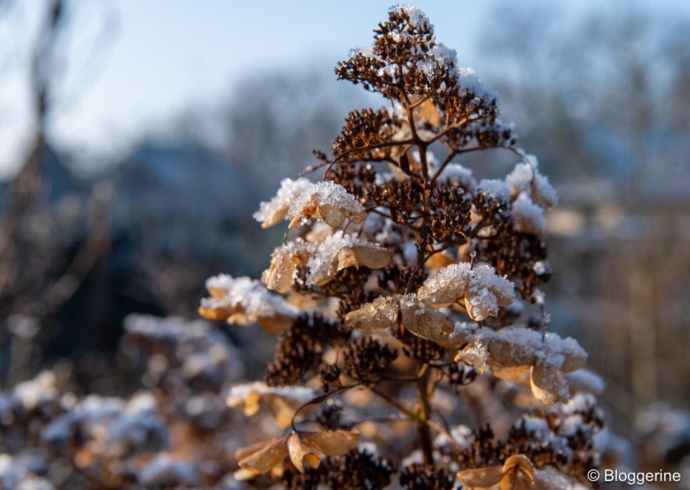 Hortensieblüte mit Eis und Schnee