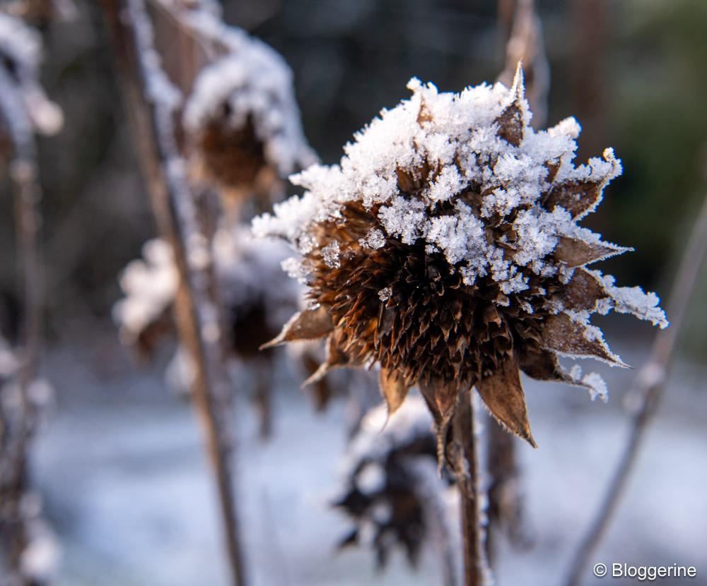 Blüte einer Sonnenblume mit Eis und Schnee