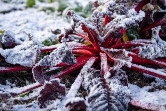 roter Mangold mit dünner Schneeschicht im Gemüsebeet