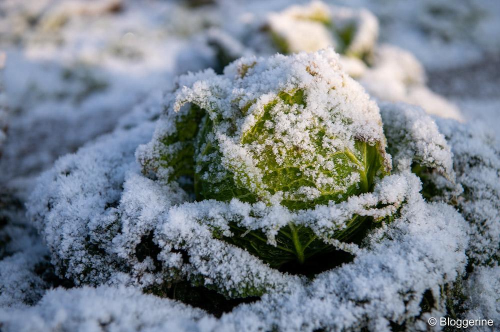 Wirsingkopf im Gemüsebeet mit dünner Schneeschicht