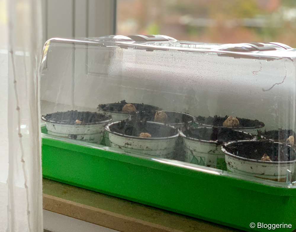 Minigewächshaus mit Töpfen mit Ingwerstücken auf Fensterbank