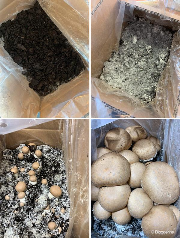 Kiste für die Anzucht von Champignons in vier verschiedenen Zuchtstatien