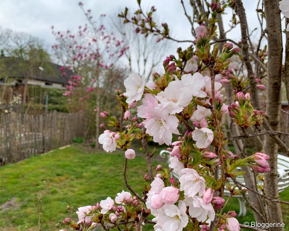Rosa blühende Säulenkirsche im Hintergrund pink farbene Magnolie