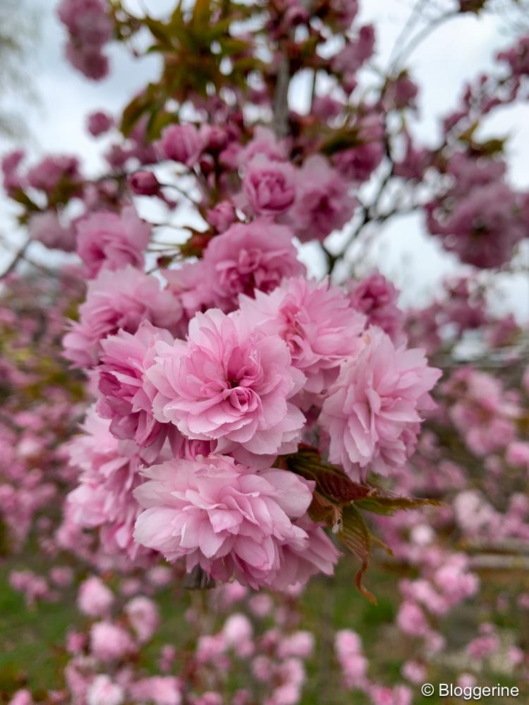 Hängenelkenkirsche rosa blühend